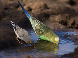 Budgerigar and Zebra Finch (Taeniopygia Guttata)
