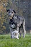 Irish Wolfhound with Maltese Dog