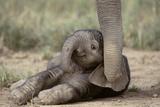 Elephant Baby Lying on Ground Papier Photo