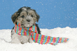 Lhasa Apso Cross Puppy (7 Weeks Old) With