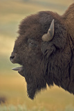 American Bison  Buffalo Male Vocalizing (Bellowing)