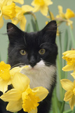 Kitten in Daffodils