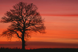 Oak Tree with Buzzard  Field in Winter Dawn Light