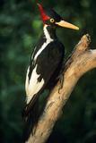 Extinct Bird Ivory-Billed Woodpecker (Mounted Specimen)