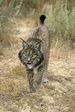 Pardel Lynx  Iberian Lynx