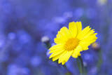 Corn Marigold in Bloom with Cornflowers in Background