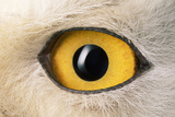Snowy Owl Close-Up of Eye