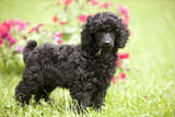 Black Poodle Outside in Garden with Grass in Mouth