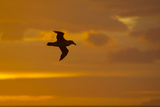 Northern Giant Petrel in Flight at Sunset