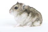 Russian Hamster in Studio