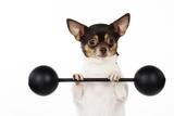 Chihuahua Lifting Weights