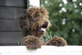 Brown Labradoodle Peering over Wall