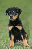 Rottweiler Puppy  Sitting Upright on Grass