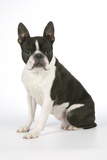 Boston Terrier  Sitting Down