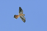 American Kestrel Male in Flight
