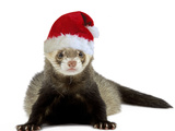Ferret Wearing Christmas Hat