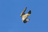 Peregrine Falcon Diving