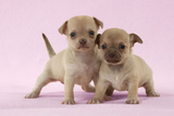 Chihuahua Puppies Standing Together (6 and 4 Weeks)