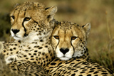 Cheetah Portrait of Pair Close Together
