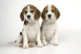 Beagle Puppies Sitting Down