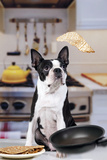 Boston Terrier Dog with Pancake Being Flipped