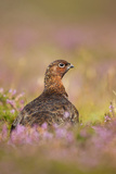 Red Grouse Amongst Heather in Early Morning Sunshine