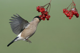 Bullfinch Female on the Wing  Feeding on Berries