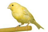 Yellow Canary on Perch