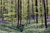 Bear's Garlic in Forest