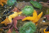 Ochre Sea Star and Giant Green Anemone