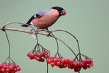 Bullfinch Male Feeding on Berries of Guelder