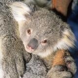 Koala Young