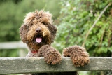 Brown Labradoodle with Front Paws on Gate