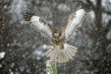 Buzzard Landing in Snow Shower