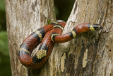 Tropical Milk Snake