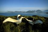 Wandering Albatross (Diomedea Exulans) Courtship Display