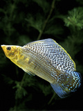 Aquarium Fish Giant Sailfin Molly
