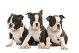 Three Boston Terrier Puppies in Studio