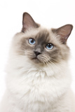 Ragdoll Blue Colourpoint in Studio
