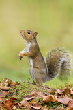 Grey Squirrel Standing on Hind Legs
