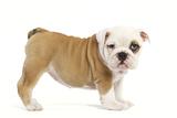 English Bulldog Puppy in Studio