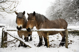 Belgian Horses in Winter