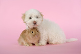 Dog and Rabbit Coton De Tulear Puppy (8 Wks Old)