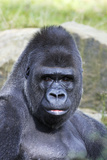 Gorilla Male  Portrait
