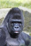 Gorilla Male  Portrait