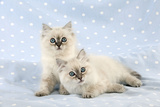 10 Week Old Ragdoll Kittens