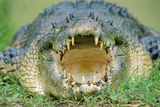 Indo-Pacific Crocodile Mouth Open
