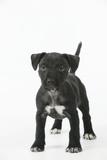 Patterdale Cross Terrier