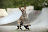 Chihuahua on Skateboard in Skate Park