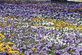Crocus Flowering in Park at Springtime